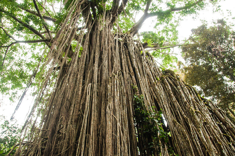 The Curtain Fig