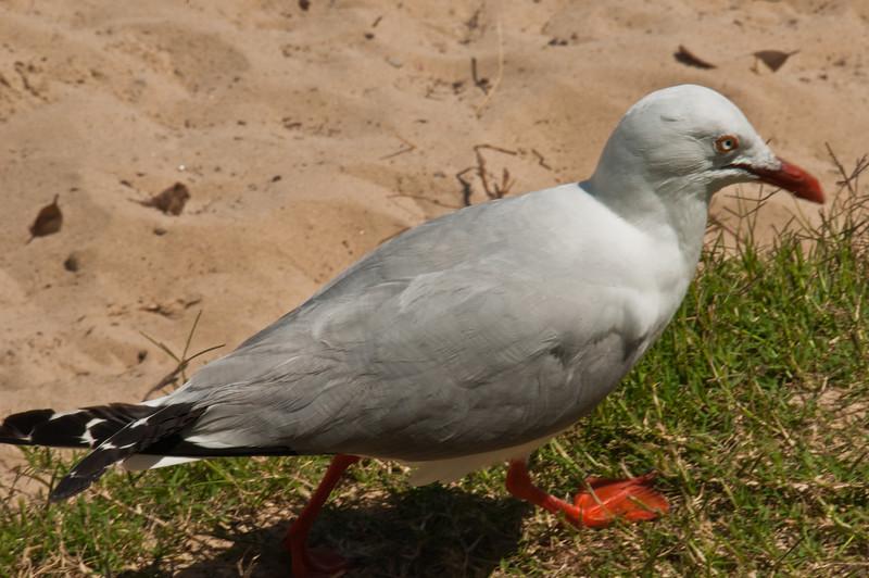 Seagull at Clontarf