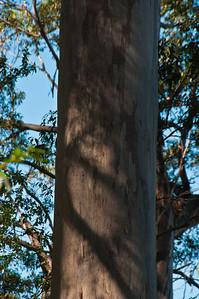 A karri trunk