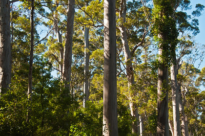 In the Karri Forest