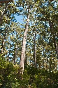 Giant eucalyptus