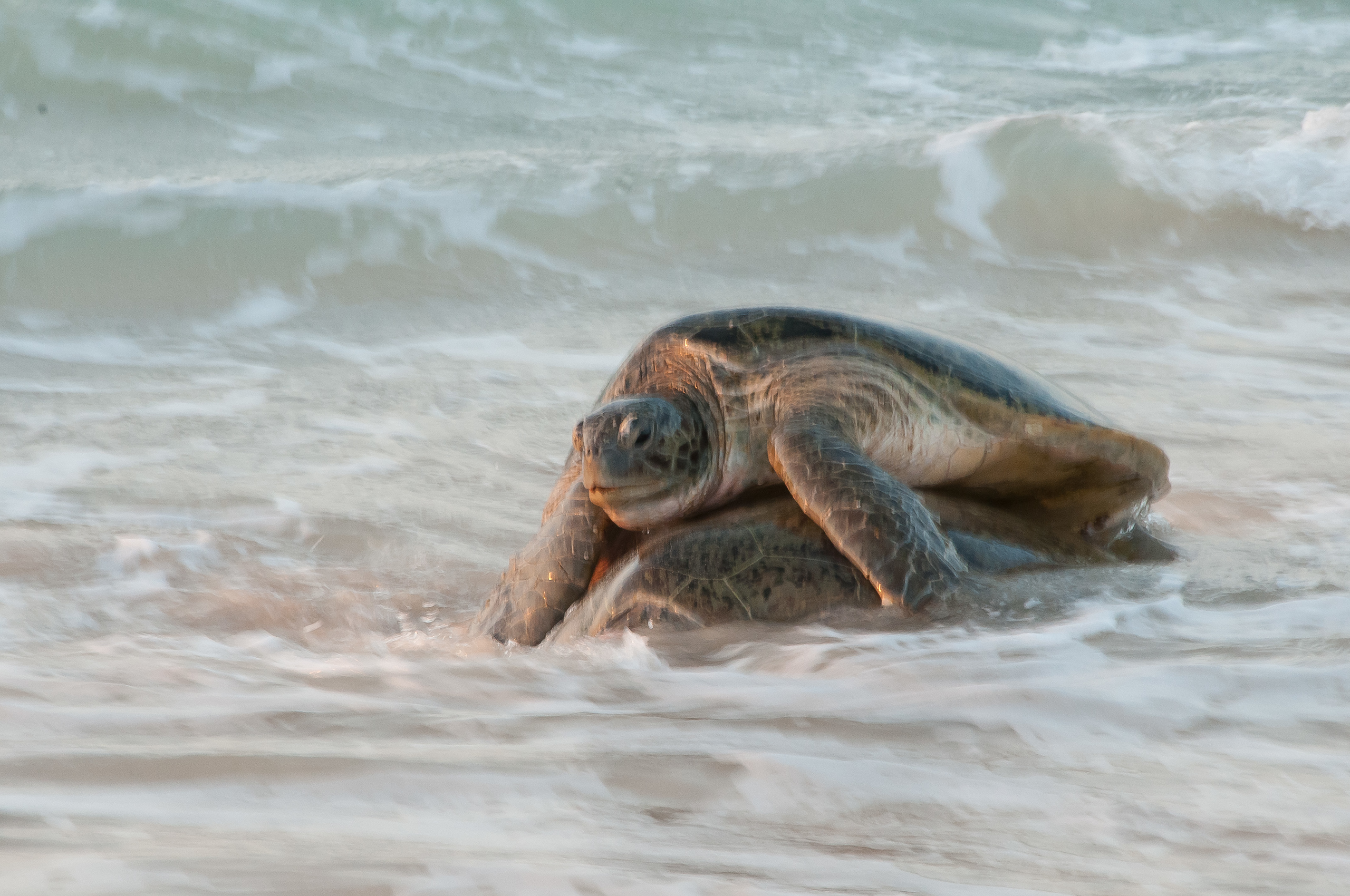 Turtles mating on the beach