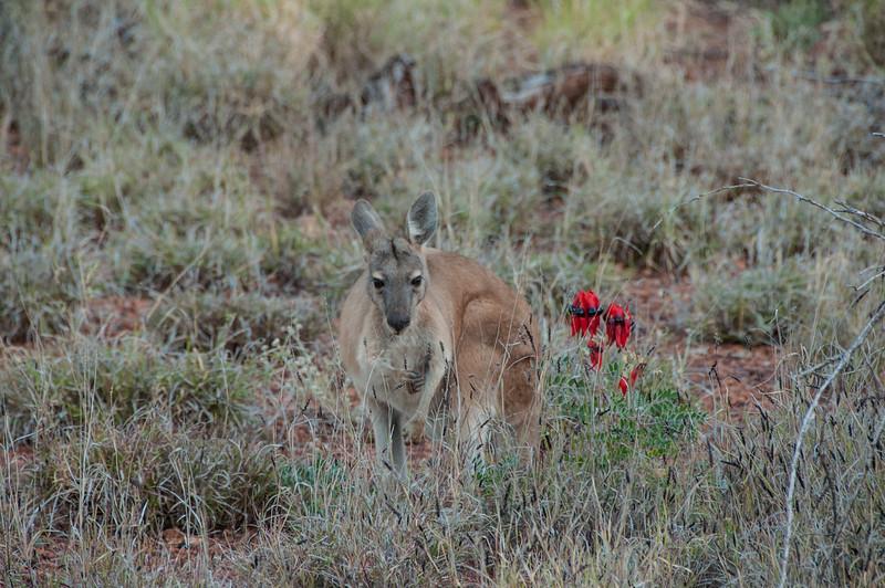 Kangaroos round the Millstream Homestead