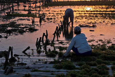 Seaweed farmers at sunset. Nembrala, Rote Island, Indonesia.