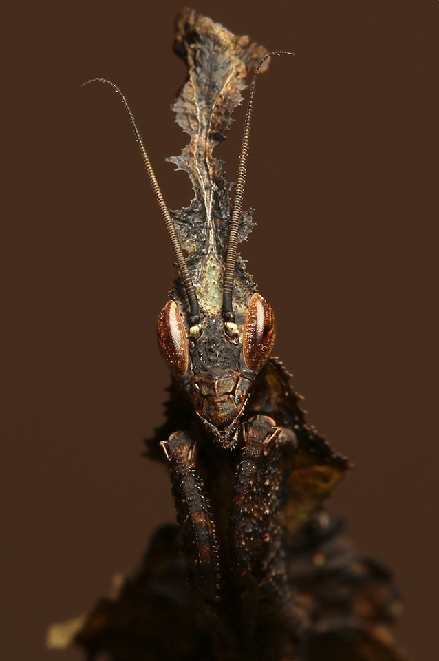 Male Ghost Mantis