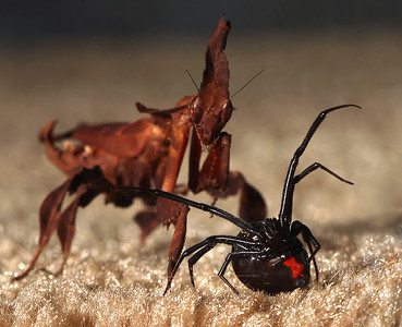 Mantis Hunts Down Black Widow