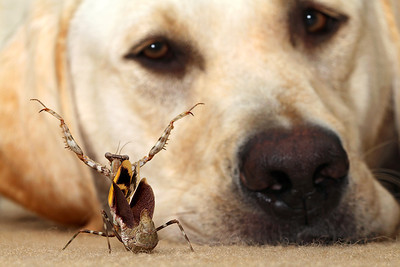 Mantis Confronts Dog