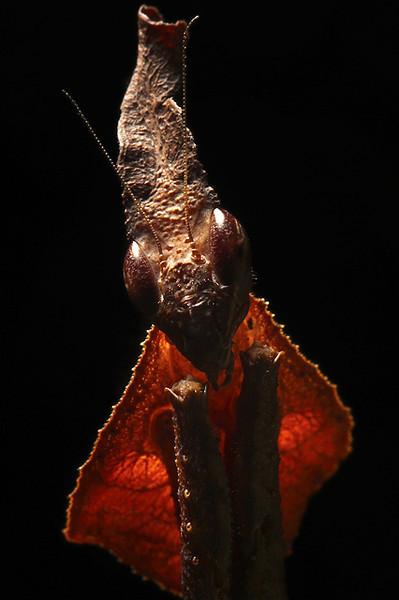 Ghost Mantis Portrait