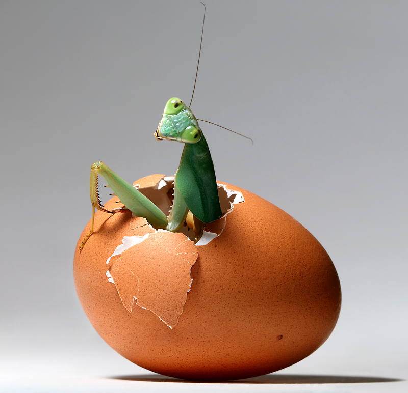 Hatching Mantis