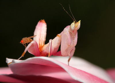 Orchid Mantis nymph and a fruitfly