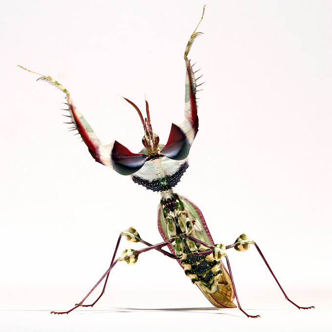 Idolomantis Diabolica threat pose