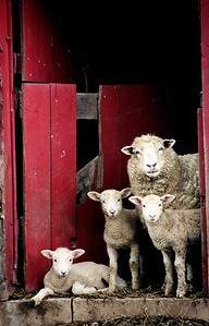 Sheep family portrait