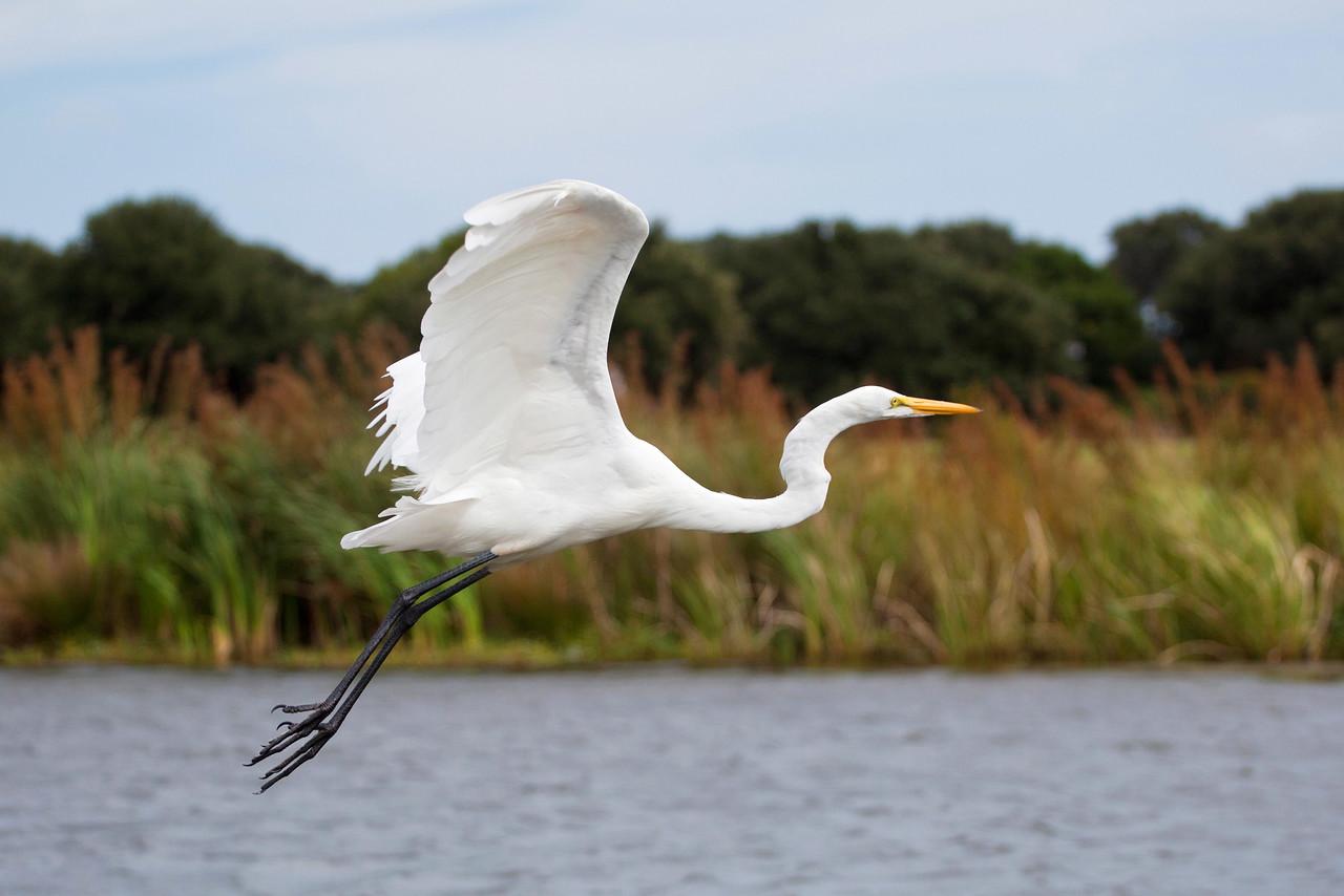 Egret in flight