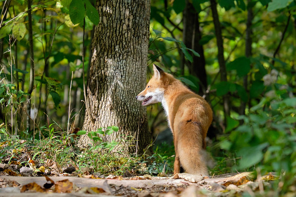 Fox at Great Falls