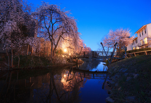 Cherry blossoms at the Van Gogh Bridge