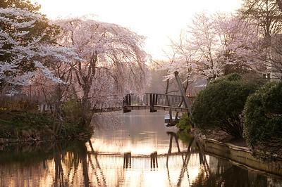 Cherry blossoms at the Van Gogh Bridge 2