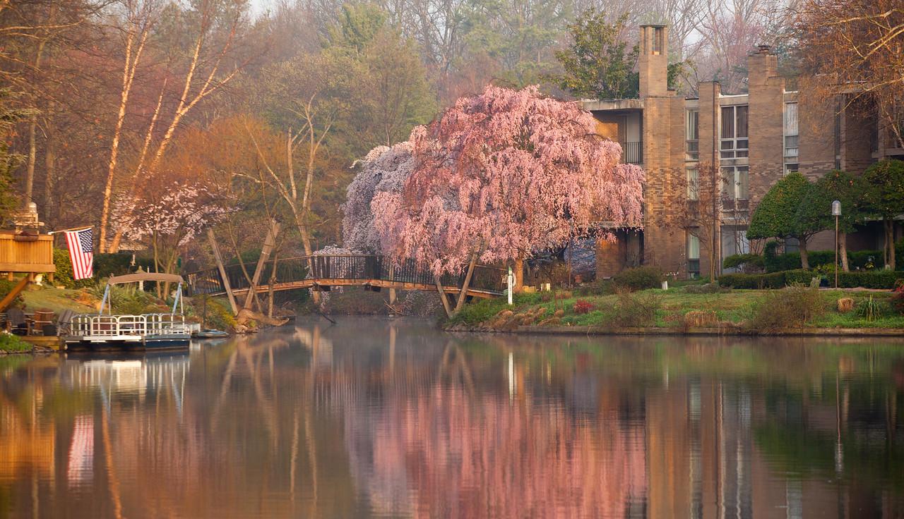 Lake Anne cherry blossoms at sunrise
