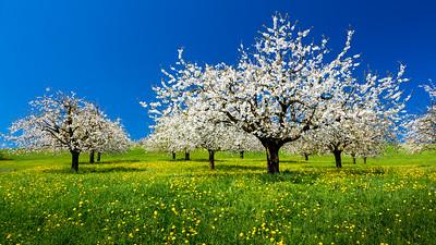 Spring blossom / Küssnacht, Switzerland