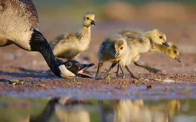 Canada Goose - Goslings