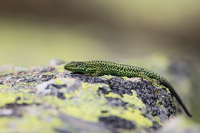 Iberian Rock Lizard