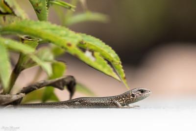 Sand Lizard