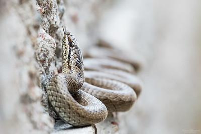 Smooth Snake