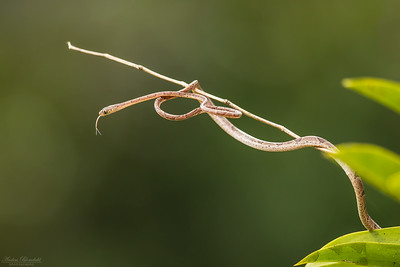 Blunt-headed Tree Snake