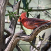 Northern Cardinal, Ash Canyon B&B