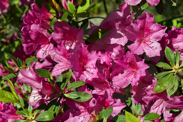 Jeykll Island_Flowers_2233