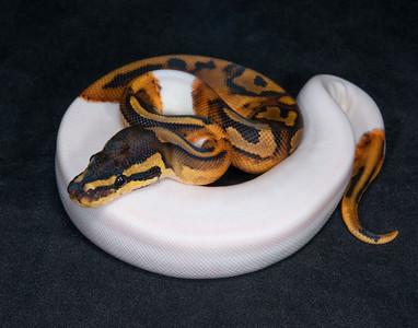 B2183, Female Piebald Het Albino