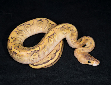 #2031, Male Champagne Fire (Enchi?), $250