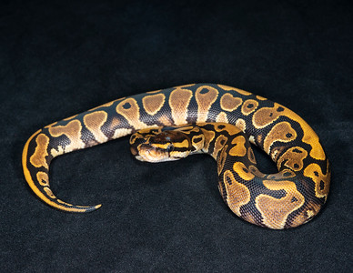 #2006, Female Yellow Belly, $100