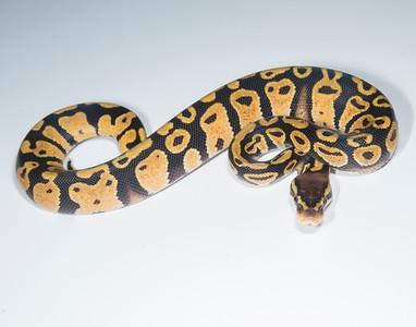 B2111, Female Pastel