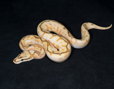 B2123, Male Orange Dream Butter Spider Enchi Calico (Yellow Belly Pastel?)