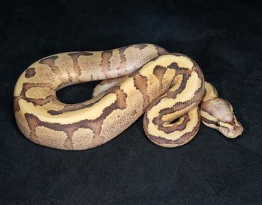 B2175, Female Vanilla Cream