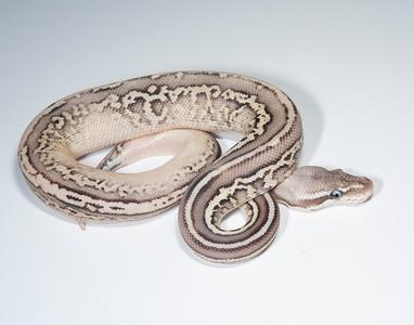 B2115, Male Cinnamon Leopard Pastel (Lesser?)?