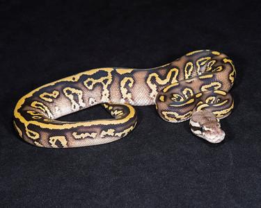 1830_F Leopard Mojave Pastel, $275