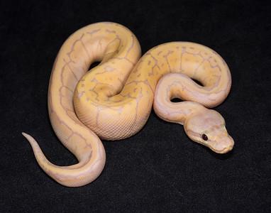 #1709, Male Banana Pastel Pinstripe, $250