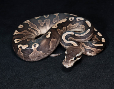 B2132, Male Cinnamon GHI