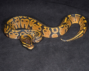 1871_M Yellow Belly or Gravel, $40