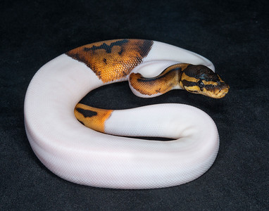 B2185, Female Piebald Het Albino