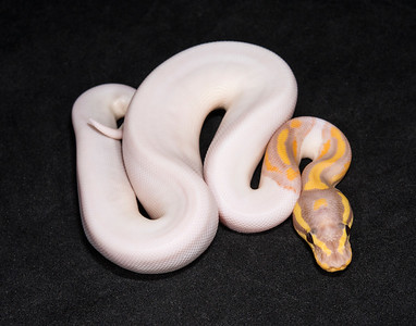 #1734, Male Banana Piebald, $800