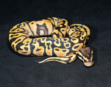 B2124, Female Pastel Yellow Belly or Gravel