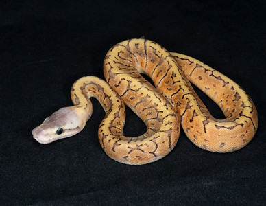 #2075, Male Pastel GHI Pinstripe, $250
