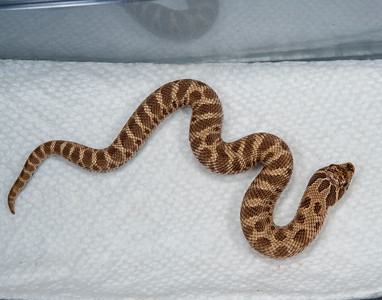 19-6b, Male Conda 100% Het Albino 50% possible Het Axanthic, $150