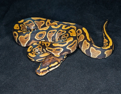 #2007, Female Yellow Belly, $100