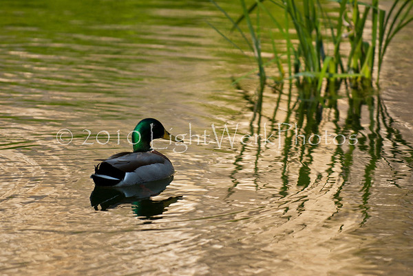 """""""Another Duck Photo"""""""