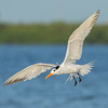 Royal Tern