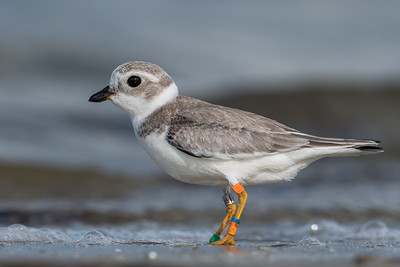 A Special Plover