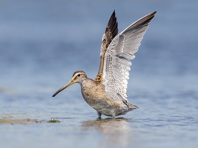 Plovers, Sandpipers, and Allies
